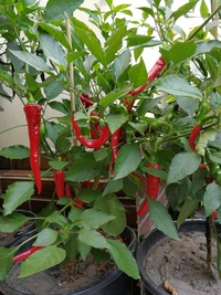plant of chilli pepper: Cayenne Pepper Thick
