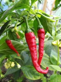 plant of chilli pepper: Cayenne Pepper Long Slim
