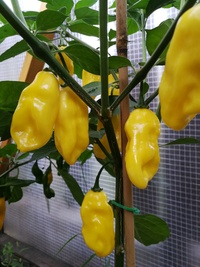 plant of chilli pepper: Venezuelan Tiger Yellow