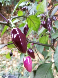 plant of chilli pepper: Pink Alligator