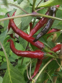 plant of chilli pepper: Cayenne Pepper Purple Long
