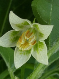 flower of chilli pepper: Aji White Fantasy