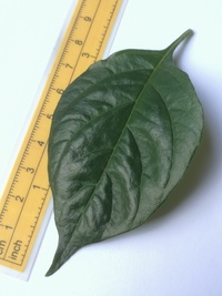 leaf of chilli pepper: Aji Charapita Small