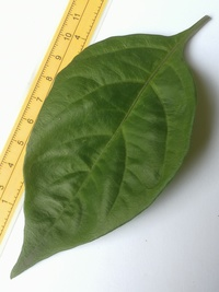 leaf of chilli pepper: Trinidad Perfume