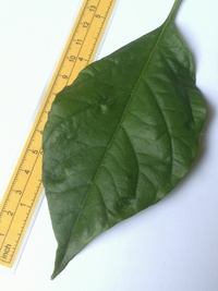 leaf of chilli pepper: Trinidad Scorpion