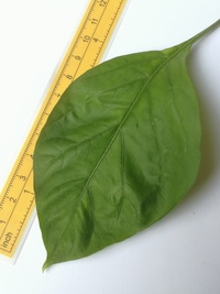 leaf of chilli pepper: Bhut Jolokia Chocolate